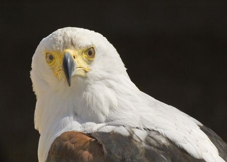 African Fish Eagle in portrait Stock Photo