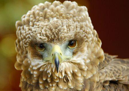 Bateleur Eagle Juvenile in portrait Stock Photo