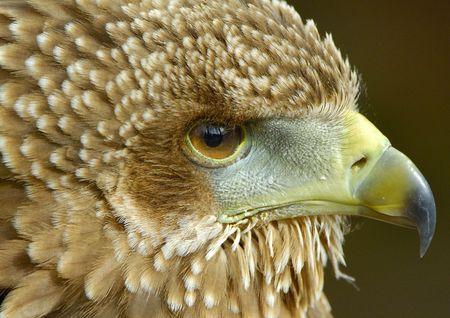 Bateleur Eagle Juvenile in profile