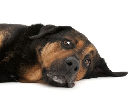 Tired Dog lying down with amusing look on face