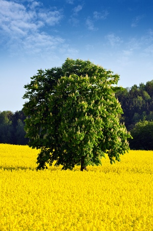 rappi: Chestnut tree in the middle of a  Rapeseed Field.