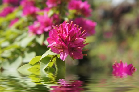 Pink flowers reflecting in the water and blurred background   Stock Photo