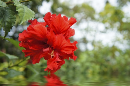 greengrass: Red flower reflecting in the water and blurred background