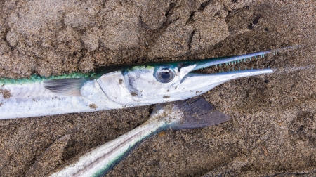 gills: Caught Pacific Needlefish laying in the sand. Stock Photo