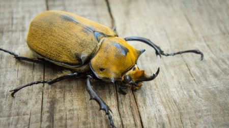 A close up of an Elephant Beetle on wood background