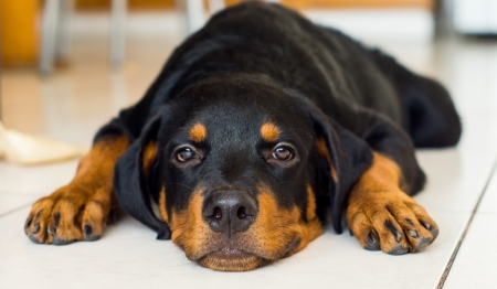 A cute young rottweiler puppy tired out