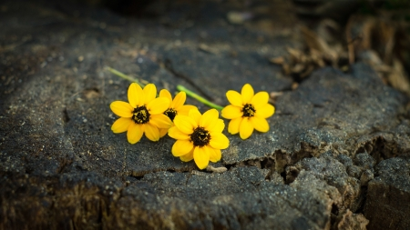 Yellow Daisy flower on wooden textured background