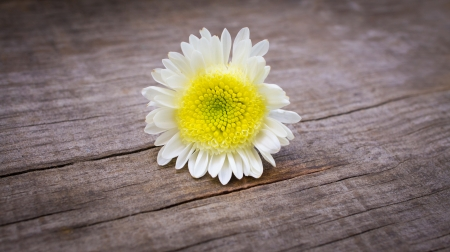 Marguerite Daisy flower on wooden textured background Stock Photo - 23477171