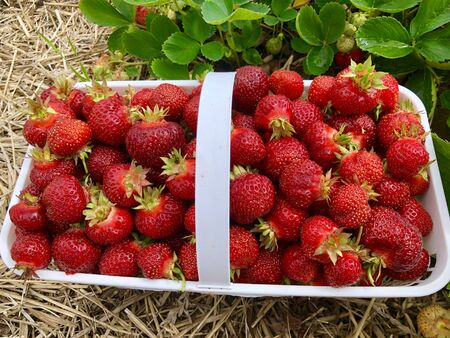 Close up of Fresh picked Strawberries in a basket beside a strawberry plant.