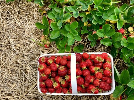 Fresh picked Strawberries in a basket beside a strawberry plant.