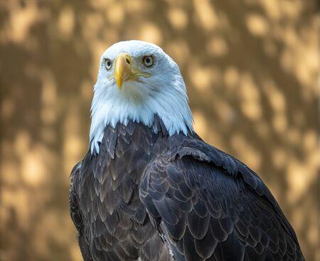 Mature bald eagle intense gaze and intelligent eyes Reklamní fotografie