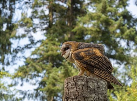 Barn owl perched and crouched on a tree stump with meat in its beak and a forest background
