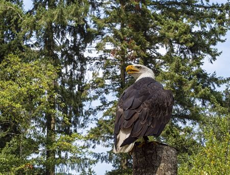 Mature Bald eagle perched in a tree looking backwards with a forest background