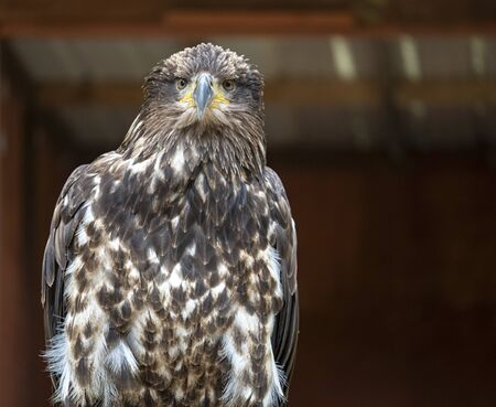 Adorable head and body of a Juvenile Bald eagle gazing into the distance