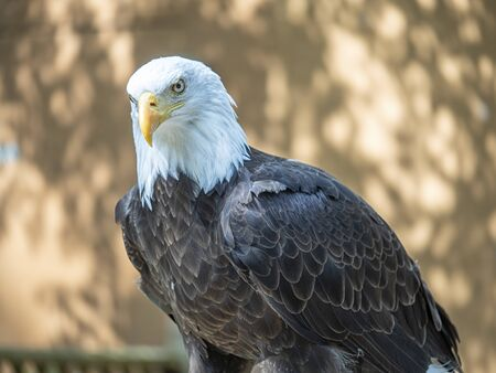 Mature bald eagle with an intense gaze staring down its prey