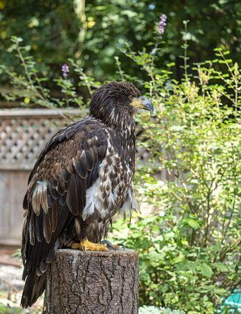 Juvenile Bald eagle sitting on a tree stump surveying the scenery of a backyard