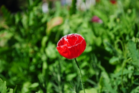 Poppy royal agricultural station angkhang photo