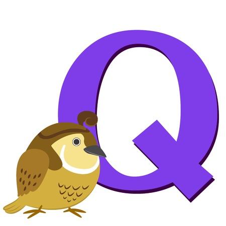 quaglia: illustrazione di Q isolato animale alfabeto con quaglia su bianco