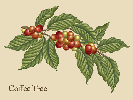 Coffee tree elements, retro coffee plants in etching shading style with color