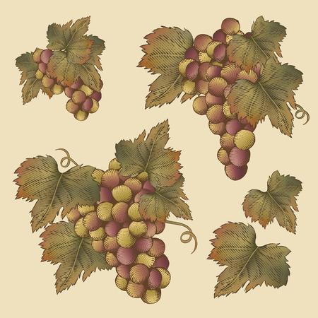 Engraving grape and leaves design elements set Çizim