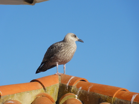 A single bird, who does not move on the roof of a house. Portugal