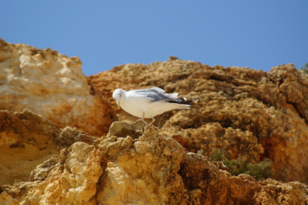 A single bird on a rock, which does not move. Front view - The South of Portugal, Algarde