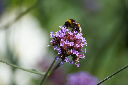 A flower and a bumblebee which gathers nectar and pollen.