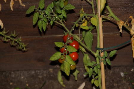 Tomatos cherries in bunch, and surrounded by green sheets. They are lit by an artificial light. It is in, and there is no character.