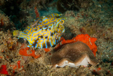 boxfish: A cheeky boxfish eyes what is behind  Stock Photo