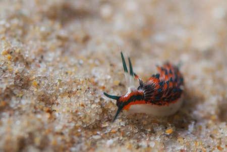 nudibranch: Small Nudibranch