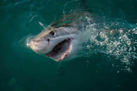 shark bay: A great white shark we encountered on a chum trip near Seal Island in Mossel Bay, South Africa