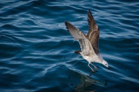 skimming: Una gaviota rozando por alg�n compa�ero fuera de la superficie Foto de archivo