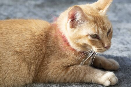 Sleepy ginger cat lying on floor. Adorable ginger cat wearing red collar with bell - image