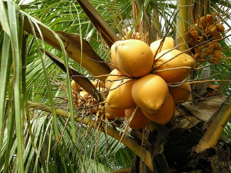 Some yellow coconuts, ripe but still on the tree, in the Keralan backwaters. photo