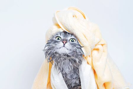 Funny smiling wet gray tabby cute kitten. Pets and lifestyle concept. Head on gray background.