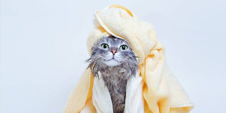 Funny wet sad gray tabby cute kitten after bath wrapped in pink towel with yellow eyes. Pets concept. Just washed lovely fluffy cat with towel around his head on gray background.