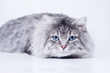 Close up view of a gray tabby cute kitten with blue eyes. Pets and lifestyle concept. Lovely fluffy cat on gray background.