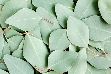 Background, Texture made of green eucalyptus leaves. Flat lay, top