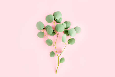 green branch eucalyptus on pink background. flat lay, top view