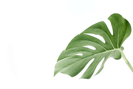 Close-up of the Monstera leaf. Tropical palm leaves Monstera isolated on white background. Tropical nature concept.