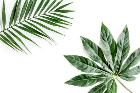 Tropical palm leaves Aralia isolated on white background. Tropical nature concept.