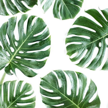 Tropical leaves Monstera on white background. Flat lay, top view