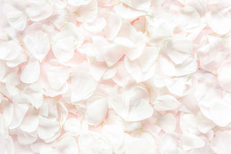 beige petals roses on pink background. Flat lay, top view. Valentines background. Valentines Day concept. 스톡 콘텐츠