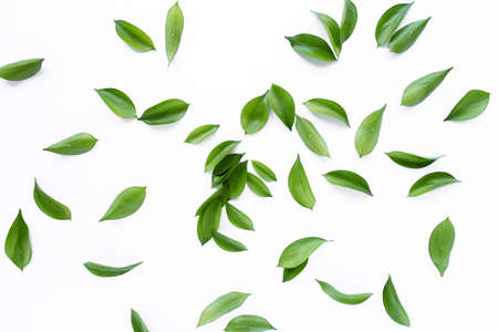 pattern texture with green leaves and branches isolated on white background. lay flat, top view