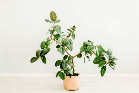 Ficus in home in flowerpot on white background. Modern minimalistic interior with an home plant. Flat lay, top view minimal concept. Stock fotó - 155447232