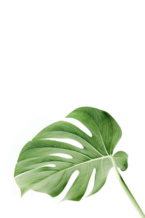 Close-up of the Monstera leaf. Tropical palm leaves Monstera isolated on white background. Tropical nature concept. Stock fotó