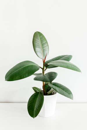 Home plant in white flower pot, green leaf ficus benjamina, elastica on a light background Stock fotó - 155447248