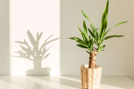 Yucca palm in a straw pot and shadows on a white wall Stock fotó - 155447249