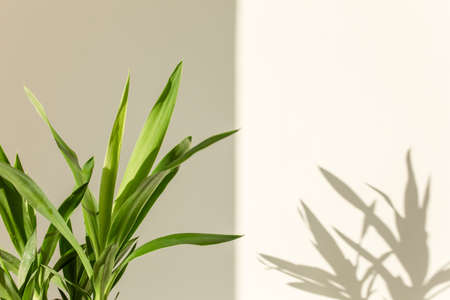 palm yucca and shadows on a white wall Stock fotó - 155447250