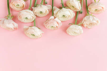 Floral background texture made of pink ranunculus flower buds on white background. Flat lay, top view floral background.